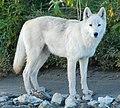 Noatak River wolf (cropped).jpg