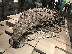 Nodosauridae - The holotype of Borealopelta on display