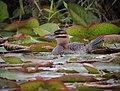 Nomonyx dominicus Pato enmascarado Masked Duck (female) (10761313143).jpg