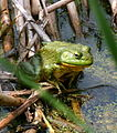 North-American-bullfrog2.jpg