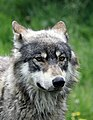 North American Wolf Nuka (7263470836).jpg