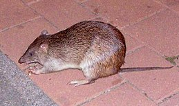 Northern Brown Bandicoot.jpg