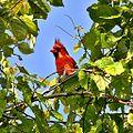 Northern Cardinal (13929330147).jpg