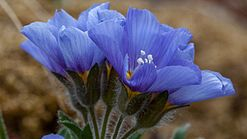 Northern Jacob's ladder (Polemonium boreale) in Skansbukta, Svalbard (3).jpg