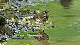 Northern waterthrush - Northern Waterthrush Whitish variation