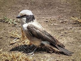 Northern White-crowned Shrike Eurocephalus ruepelli in Tanzania 2943 Nevit.jpg
