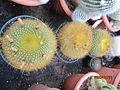 Notocactus graesneri (3779452416).jpg