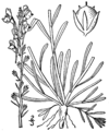 Nuttallanthus canadensis BB-1913.png