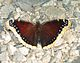Trauermantel, Mourning Cloak.jpg