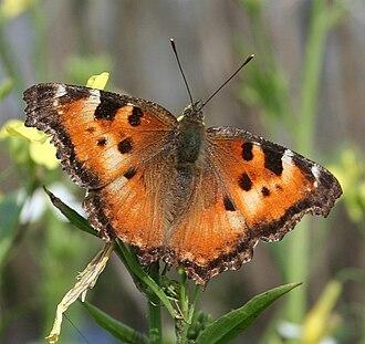 Nymphalis - Image: Nymphalis californica