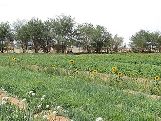 Agriculture in Mongolia - Growing vegetables in oasis Dal.