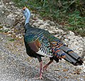 Ocellated Turkey (Meleagris ocellata) on the road - Calakmul Biosphere Reserve.jpg