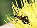Oedemera femorata (Oedemeridae) (7616484908).jpg