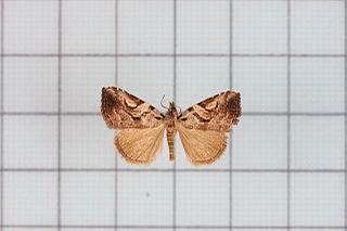 <i>Oglasa</i> Genus of moths