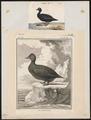 Oidemia nigra - 1700-1880 - Print - Iconographia Zoologica - Special Collections University of Amsterdam - UBA01 IZ17700133.tif