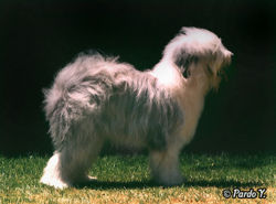 Oldenglishsheepdog0b.jpg