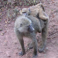 Olive Baboon, female and baby.jpg
