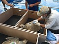 Olive ridley sea turtle gets prepped for release (36967404106).jpg