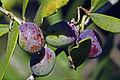 Olives(CYPRESSIMO) CL. J Weber (5) (22754118897).jpg