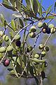 Olives (ARBEQUINE) CL1. J Weber (2) (23122214706).jpg