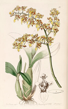 Oncidium venustum (as Oncidium trulliferum) - Edwards vol 25 (NS 2) pl 57 (1839).jpg