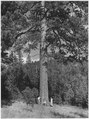 One of the largest ponderosa pines on the Colville Indian Reservation. Photo taken at the edge of Moses Meadow. L-R... - NARA - 298686.tif