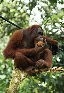 A Bornean orangutan is seen perched on a tree eating a fruit.