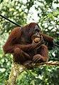 Orang Utan, Semenggok Forest Reserve, Sarawak, Borneo, Malaysia.JPG