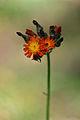 Orange Hawkweed (Hieracium aurantiacum) - Algonquin Provincial Park, Ontario.jpg