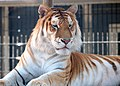 Orange bengal tiger at Cougar Mountain Zoological Park 1.jpg