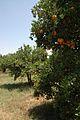 Orangers (11).JPG
