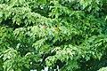 Orchard oriole (19568874640).jpg