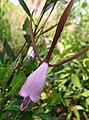 Orchidacea. Rosebud Orchid (Pogonia divaricata) (38436152761).jpg