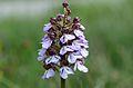 Orchis purpurea5.JPG