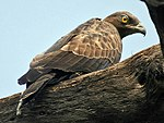 Oriental Honey Buzzard (Female)- Bharatpur I IMG 8243.jpg