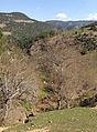 Oriental plane trees, Saimbeyli 01.JPG