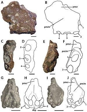 Coloborhynchus - Holotype and referred specimen of C. capito
