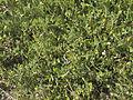 Ornithopus-compressus-20130503.jpg