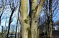 Osculation in a Sycamore tree, Culzean, Ayrshire.jpg