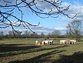 Osterley Park Cows - geograph.org.uk - 1705163.jpg