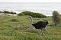 Ostrich at Cape Peninsula.JPG