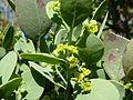 Osyris lanceolata, loof en blomme, c, Seringveld.jpg