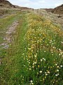 Ox eye daisies line mountain track - geograph.org.uk - 962853.jpg