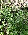 Oxeye Daisy (Leucanthemum vulgare) - Guelph, Ontario 2020-06-07 (03).jpg