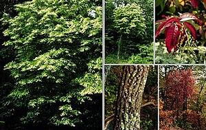 Oxydendrum - Image: Oxydendrum arboreum