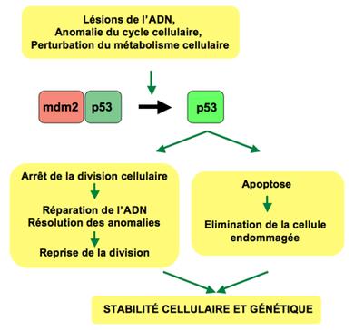 Gepatoz du foie et les parasites
