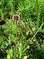 PP Na Popovickem kopci 017 Trifolium repens.jpg