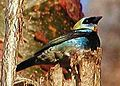 Pa golden hooded tanager at rest.jpg