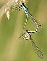 Paarungsrad ischnura elegans2008.JPG