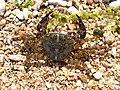 Pachygrapsus marmoratus 2008 G1.jpg